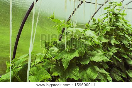 Cucumber bed in the greenhouse polycarbonate leaves