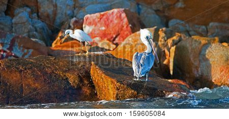 Pelican and White Egret on Pelikan rock in early morning sunlight in Cabo San Lucas Baja Mexico BCS