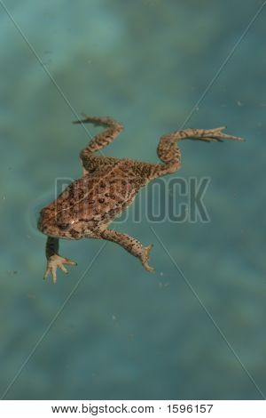 Frog In Blue Water
