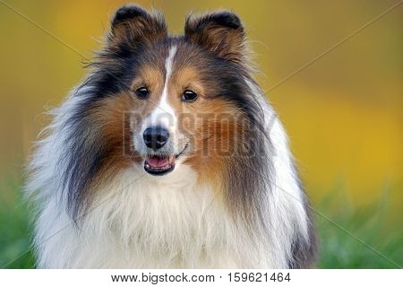 Shetland Sheepdog standing in high grass late afternoon sunlight