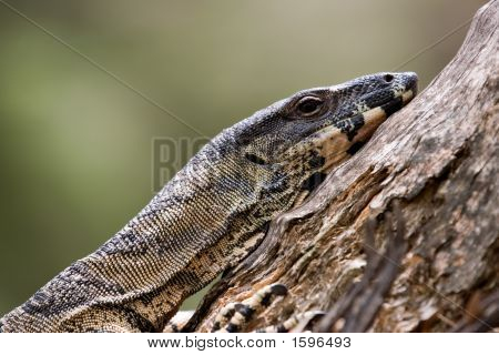 Tired Goanna