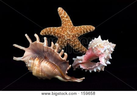 Seashell Composition