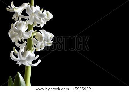 Tender white flowers of hyacinth on a deep black background