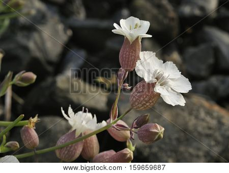 Sea Campion - Silene maritima White Coastal Flower