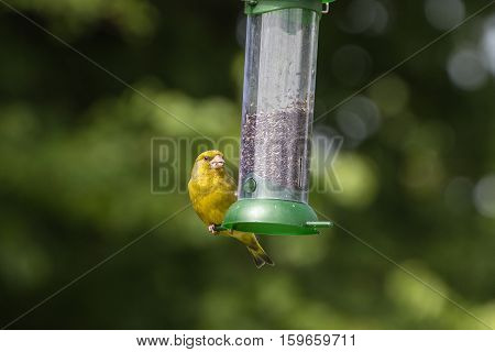 Greenfinch (Carduelis Chloris) feeding on nyjer seed from a feeder