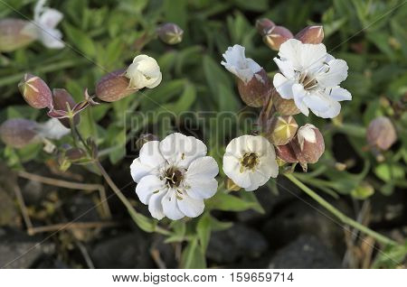Sea Campion - Silene maritima Coastal Wild Flower
