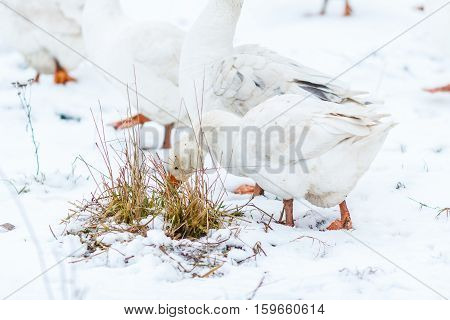 White domestic geese on a farmstead in the winter.