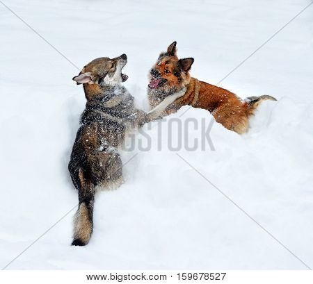 Two young nice dogs play in a deep snowdrift. They imitate fight show teeth. Their movements raise snow dust. Hair are stuck around by snow flakes.