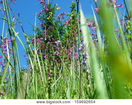 Willow-herb Meadow Chamerion Angustifolium Fireweed Rosebay