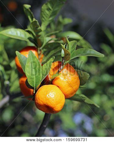 Ripe Mandarins In A Lush Mediterranean Orchard