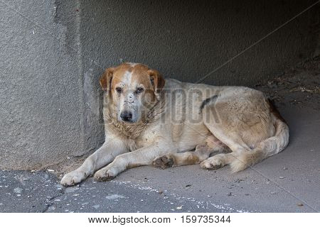 Sad homeless dog lying on the pavement. Pets