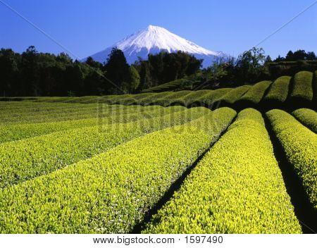 Campos de té verde