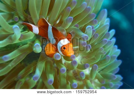 Clown anemone fish peeking from anemone Host. Andaman sea South of Thailand. copy space