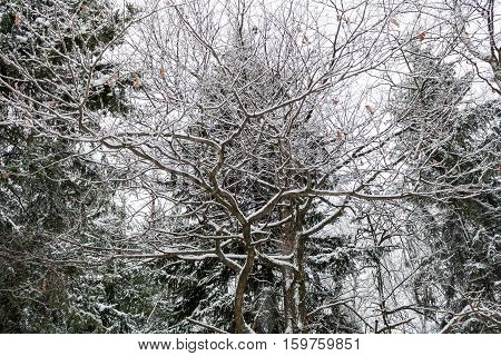 Snow-covered branches of an oak tree on the background of fir trees