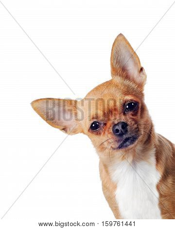 Purebred chihuahua dog isolated on white background. Closeup.