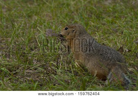 The little gopher runs away with the found food against the background of a green grass