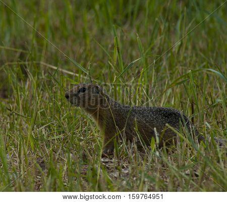 The little gopher runs from a green grass across the field