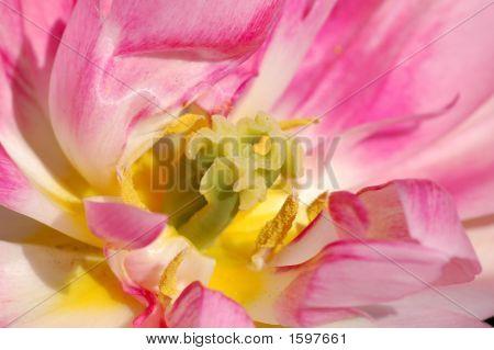 Pink Tulip Macro