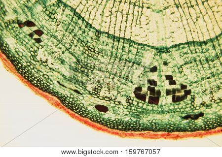 Cross Section Wood