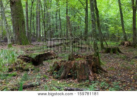 Deciduous Stand In Fal With Old Stumps