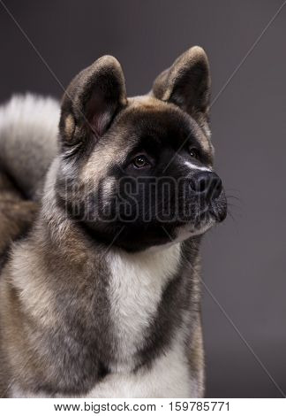 American akita portrait. Originally comes from northern regions of Japan.