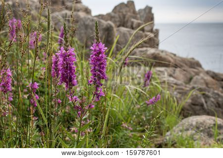 Close-up photography of loosestrife and other plants on the seashore