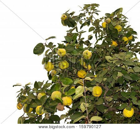 Quince tree branches tend upwards. Isolated. Might be useful for frames
