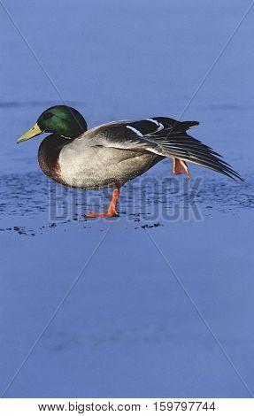 Male Mallard duck (Anas platyrhynchos) on ice, side view
