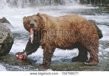 USA, Alaska, Katmai National Park, Brown Bears eating Salmon river, side view