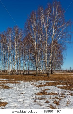 Birch in a field in spring, last year's grass, remnants of snow, sunny day