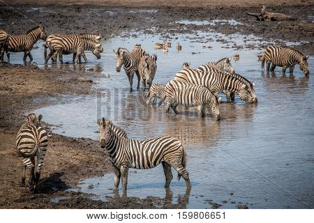 Bonding Zebra In The Kruger National Park, South Africa.