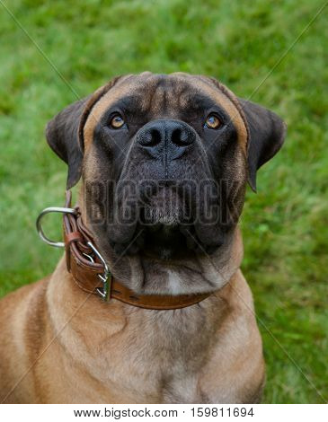 Closeup portrait of a beautiful dog breed South African Boerboel