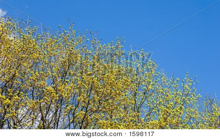 Blossoming Maple