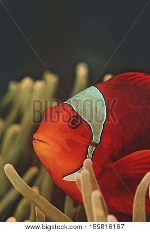 Raja Ampat, Indonesia, Pacific Ocean, spinecheek anemonefish (Premnas biaculeatus), close-up