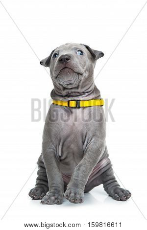 One month old thai ridgeback puppy dog in yellow collar sitting. Isolated on white. Copy space.