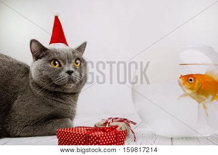 Grey Cat With Yellow Eyes Looks Up Sitting Before Aquarium With Golden Fish