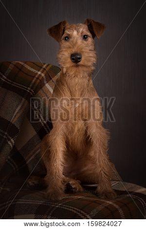 The portrait of Irish terrier sitting puppy