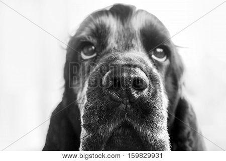 close up of a black Cocker Spaniel