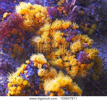 Group Of Yellow Corals