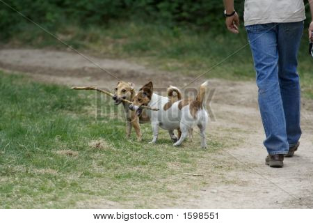 Man Walking Two Dogs