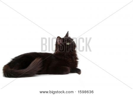 Intrigued Black Cat
