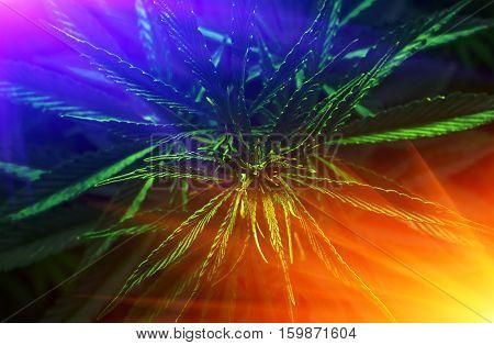 marijuana leaf clouse-up at sunrise. cannabis drug.