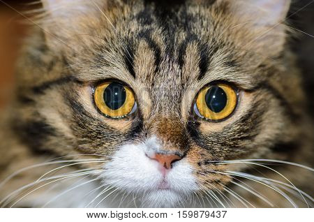 Wide-open eyes of a domestic cat with a white spot on the nose
