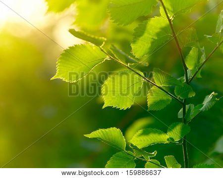 Fresh spring green leaves background. Shallow DOF