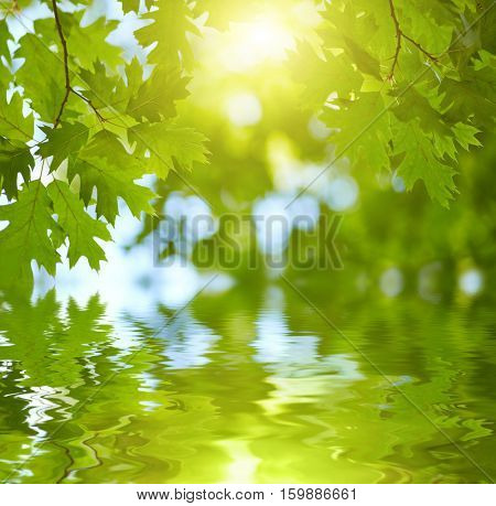 Fresh green leaves reflecting in water background. Sun shining through the tree. Summer background