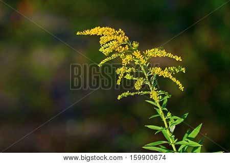Solidago canadensis (known as Canada goldenrod or Canadian goldenrod) is an herbaceous perennial tree of the family Asteraceae native to northeastern and north-central North America.