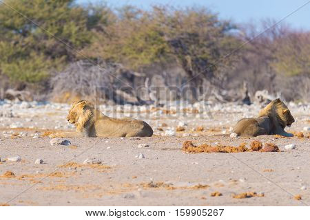 Couple Of Lions Lying Down On The Ground In The Bush. Wildlife Safari In The Etosha National Park, M