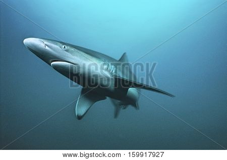 Aliwal Shoal, Indian Ocean, South Africa, tiger shark (Galeocerdo cuvieri) swimming in ocean