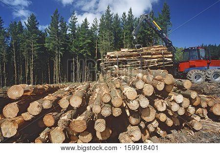 Plantation Eucalyptus (Bluegum) trees being harvested for woodchipping