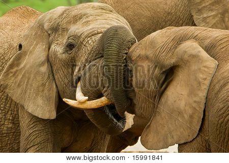 Elephants With Locked Trunks